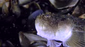 stargazer : A small round goby falls on the head of the Atlantic stargazer (Uranoscopus scaber), closeup. Stock Footage