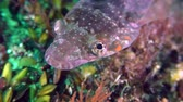 roques : Sea fish Connemarra clingfish (Lepadogaster candolii) rotates through the eyes exploring the neighborhood, portrait. Stock Footage