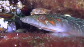 roques : Portrait of the most beautiful sea fish Connemara clingfish (Lepadogaster candolii). Stock Footage