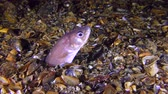 aquarium : Sea fish Roches snake blenny (Ophidion rochei) half hidden in the ground, medium shot. Stock Footage