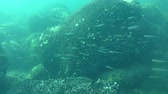 smelt : A flock of game-fish Big-scale sand smelt (Atherina boyeri). Stock Footage