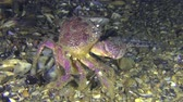 Reproduction Warty crab or Yellow shore crab (Eriphia verrucosa): the female protruding its abdomen crawls along the bottom, rear view. Stock Footage