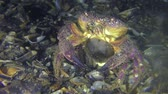 Spawning of crab (Eriphia verrucosa): the female throwing eggs into the water column by abdomen moves, front view. Stock Footage
