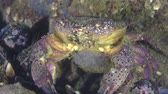 Reproduction of Warty crab or Yellow shore crab (Eriphia verrucosa): female with eggs on abdomen sitting near stone, medium shot. Stock Footage