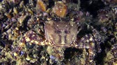 Marbled rock crab (Pachygrapsus marmoratus) eats something, rear view.