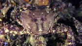 Marbled rock crab (Pachygrapsus marmoratus) eats something, rear view, close-up. Stock Footage