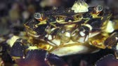 Crab (Pachygrapsus marmoratus), extreme close-up, well visible movement of the oral legs.