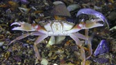 Swimming crab (Liocarcinus holsatus) of the masses spread the claws in a threat pose.
