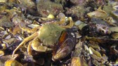 Swimming crab (Liocarcinus holsatus) is trying to get meat from the shell of the mussel. Stock Footage