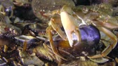 Swimming crab (Liocarcinus holsatus) takes meat from the shell of the mussel. Stock Footage