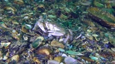 Swimming crab (Liocarcinus holsatus) puts the mussel shell in its mouth with its claws. Stock Footage