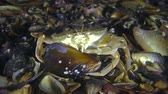 Crab (Liocarcinus holsatus) takes meat from the shell of the mussel. Stock Footage
