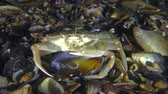Swimming crab (Liocarcinus holsatus) takes meat from the shell of the mussel, medium shot. Stock Footage