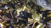 Swimming crab (Liocarcinus holsatus) takes meat from the shell of a mussel, it was frightened by a swimming fish.