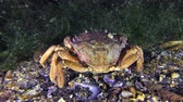 maenas : Green crab (Carcinus maenas) digs the bottom of the legs, then leaves the frame.