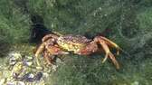 invading : Sea crab (Carcinus maenas) slowly creeps along the marine green algae.