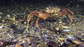 invading : Green crab or Shore crab (Carcinus maenas) is sitting on the bottom and then slowly goes away.