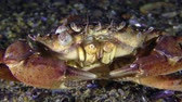 invading : Shore crab (Carcinus maenas) sits at the bottom then slowly leaves the frame. Stock Footage