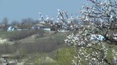 damasco : Ukrainian spring rural landscape: in the foreground there is a branch of a blooming tree. Stock Footage