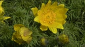 false color : Spring: large yellow flowers of the spring pheasants eye (Adonis vernalis) in the morning dew.