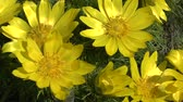 false color : Spring: yellow flowers of pheasants eye (Adonis wolgensis). Stock Footage