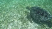 chelonia : Large Green Sea Turtle Swimming Underwater at Beautiful Island Of Maldives in Indian Ocean