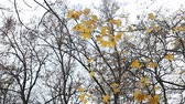golden : Yellow autumn leaves in the park on windy day