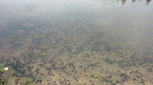 жаба : Countless Small Developed Tadpoles Heap Gathering and Swimming in Lake