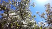 ameixa : Plum tree blooms in spring. White flowers against the sky