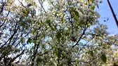 abril : Plum tree blooms in spring. White flowers against the sky