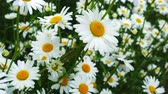 flowerbeds : Beautiful chamomile flowers on a wind.