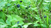 cowberry : Blue berries growing in forest. Raw fresh blueberries close-up.