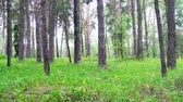 przebiśniegi : Dolly shot, beautiful spring forest and yellow flowers Wideo