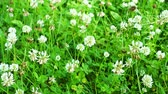 jetel : White clover flowers field. Clover field in the garden