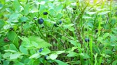 noruega : Fresh blue berries in a forest. Raw fresh blueberries close-up