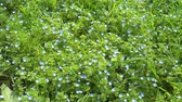 canteiro de flores : Beautiful small blue flowers and green grass, lawn