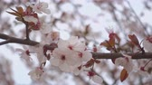 ameixa : Beautiful blooming apricot, flowers on a branch.