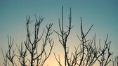 dramatik : Winter sunrise and tree without leaves on a wind, 4k qualitative video.