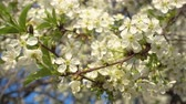 collects : Bee collects nectar on white blooming cherry flowers, 4r video. Stock Footage