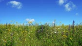 czerwiec : Beautiful blooming summer field and blu sky, qualitative uhd video.