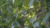 orzech włoski : Walnut growing on a tree branch on sunny day, uhd. Wideo