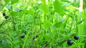 cowberry : Blueberries growing in forest. Raw fresh blueberries close-up Stock Footage