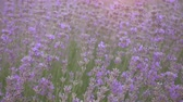 lavanda : Lavender field at beautiful evening, Provence, France. Floral background 4K UHD video.