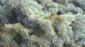 ıslak : Rain, fir tree branch sways on a wind. Full HD 1080p video.