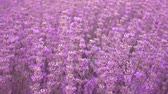 Lavender field, beautiful tender lavender flowers on a wind, 4k pro res video.