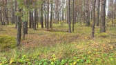 чаща : Russian forest, taiga, Siberia. Leaves barely sway in the wind. 4k pro res video.