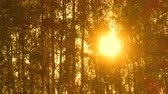 abedul : Time lapse of trees in sunlight, forest at beautiful sunset. 4k pro res. Archivo de Video