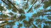 High pines and sky at beautiful day. Pine forest 4k. Filmati Stock
