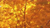 raio de sol : Beautiful golden autumn leaves on a wind, maple, 4k pro res video.