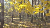 Slow motion through beautiful autumn maple leaves in sunlight, Full HD pro res video.
